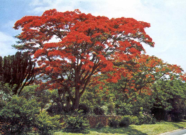 Charming arbres a fleurs rouges 1 ile de la r union 5 arbre fleurs rouges homeezy - Arbres a fleurs rouges ...